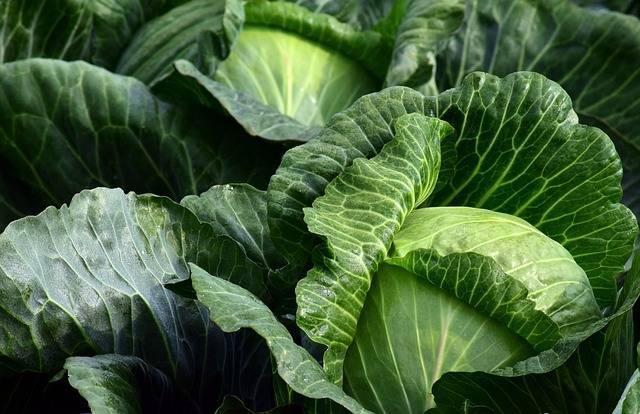 White Cabbage Herb Food · Free photo on Pixabay (116)
